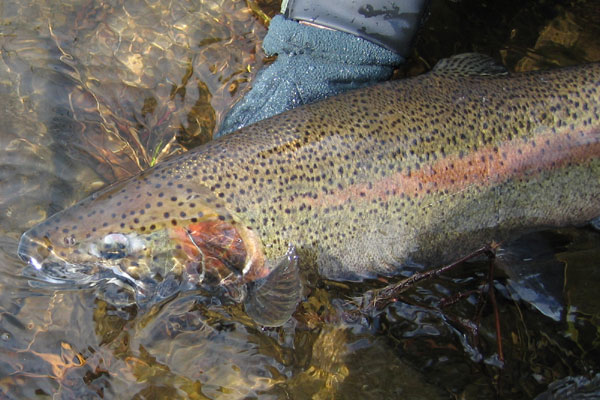 salmon river steelhead